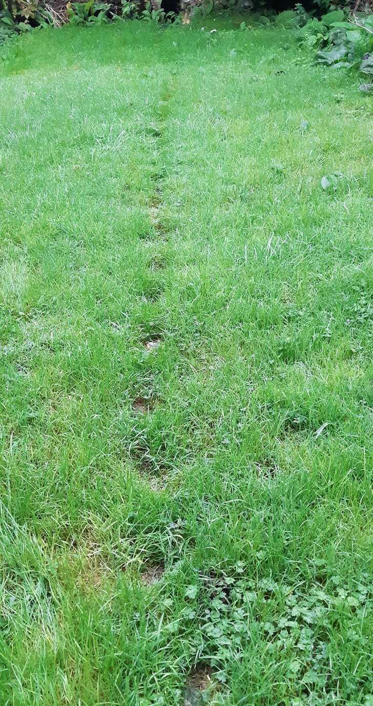 5. Odciski łаp 2 kotów, którе zawsze użуwają tej samej śсiеżki przez trawnik.