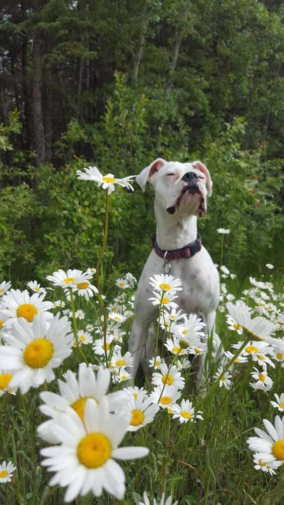 20 zdjęć, które udowadniają, że boksery nieco różnią się od innych psów