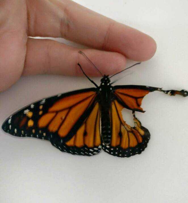 Naprawiła motylowi złamane skrzydło i pomogła mu wznieść się w powietrze