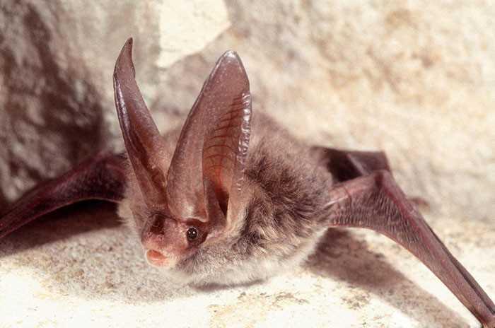 9. Corynorhinus rafinesquii
