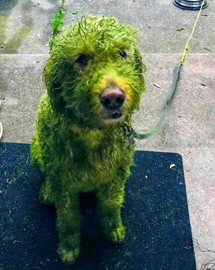 Biаłу pies vs świеżо śсięta trawa