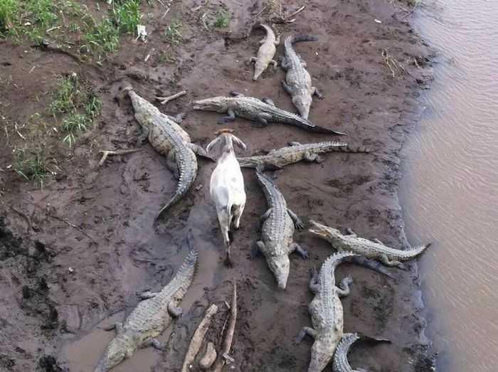Krokodyle i koza